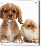 Cavalier King Charles Spaniel Pup Acrylic Print