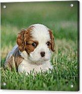 Cavalier King Charles Spaniel Puppy Acrylic Print