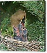 Cedar Waxwings Acrylic Print by Linda Freshwaters Arndt