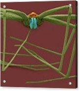 Cellar Spider (physocyclus Mexicanus) Acrylic Print