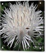 Centaurea Named The Bride Acrylic Print