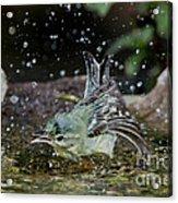 Cerulean Warbler Acrylic Print
