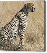 Cheetah Searching For Prey Acrylic Print