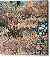 Cherry Blossoms In Pink And Brown Acrylic Print