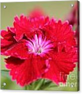 Cherry Dianthus From The Floral Lace Mix Acrylic Print