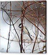 Chickadee On Woodvine Acrylic Print