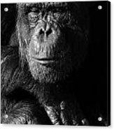 Chimpanzee Monochrome Portrait Acrylic Print