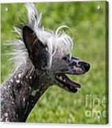 Chinese Crested Dog Acrylic Print