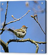 Chipping Sparrow Perched In A Tree Acrylic Print