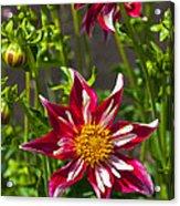 Christmas Star Dahlia And Bee Acrylic Print
