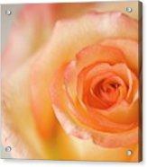 Close Up Of Single Rose (rosa Hybrid) Acrylic Print