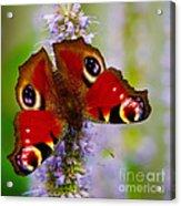 Closeup Of An European Peacock Butterfly Acrylic Print