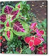 Coleus Excitement Acrylic Print