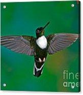 Collared Inca Hummngbird Acrylic Print