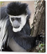Colobus Monkey Acrylic Print