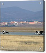 Common Cranes At Gallocanta Lagoon Acrylic Print