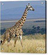 Common Giraffe Acrylic Print
