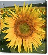 Common Sunflower Helianthus Annuus Acrylic Print