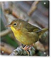 Common Yellow-throat Warbler Acrylic Print