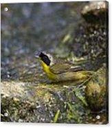 Common Yellowthroat Acrylic Print