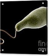 Conceptual Image Of Euglena Acrylic Print by Stocktrek Images