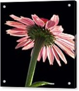 Coneflower Acrylic Print by Tony Cordoza