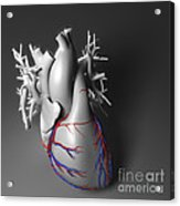 Coronary Vessels Acrylic Print