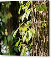 Creeper Leaves Under The Sun Acrylic Print