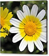 Crown Daisy Flower Acrylic Print by George Atsametakis