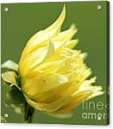 Dahlia Named Kelvin Floodlight Acrylic Print
