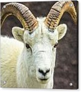 Dall Sheep Acrylic Print