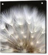 Dandelion Backlit Close Up Acrylic Print