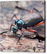Darkling Beetle Acrylic Print