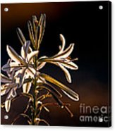 Desert Easter Lily Acrylic Print by Robert Bales