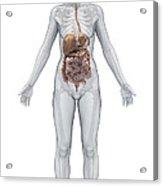 Digestive System Female Acrylic Print