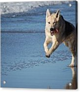 Dog On Beach Acrylic Print