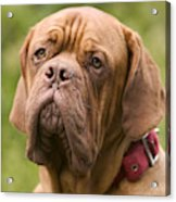 Dogue De Bordeaux Acrylic Print