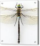 Dragonfly Isolated Acrylic Print