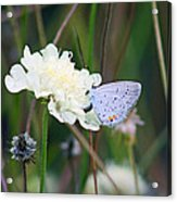 Eastern Tailed Blue Butterfly On Pincushion Flower Acrylic Print