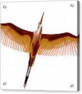 Egret In Flight Acrylic Print