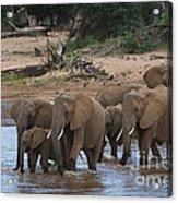 Elephants Crossing The River Acrylic Print