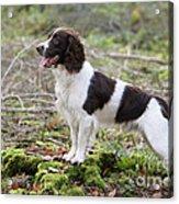 English Springer Spaniel Dog Acrylic Print