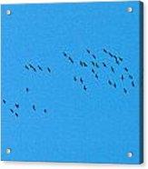 Eurasian Cranes Acrylic Print