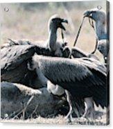 Eurasian Griffon Vulture Gyps Fulvus Acrylic Print