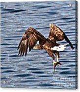 European Fishing Sea Eagle 4 Acrylic Print