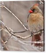 Female Northern Cardinal Acrylic Print