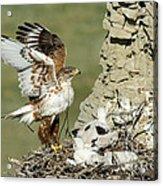 Ferruginous Hawk And Chicks Acrylic Print