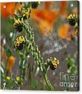 Fiddleneck Flowers Acrylic Print
