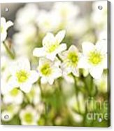 Field Of White Blossoms Acrylic Print