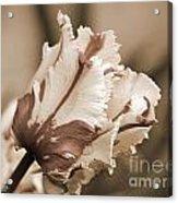 Flaming Parrot Tulip Acrylic Print